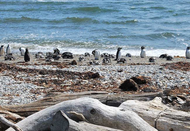 La-Pingüinera-de-Otway-y-sus-pingüinos