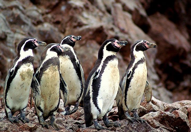 Pingüino-de-Humboldt-Chile