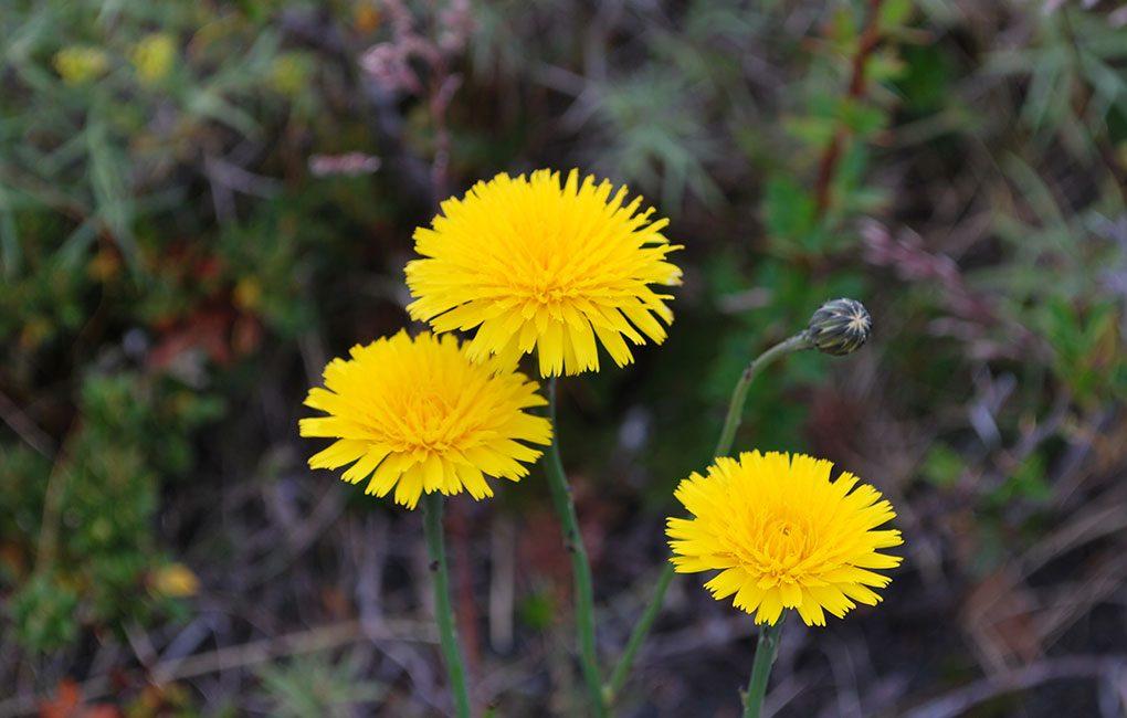 Flores-en-Torres-del-Paine